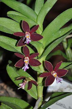 Trichoglottis Brachiata – aka Black Orchid