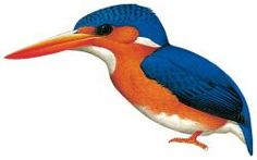 Príncipe kingfisher (Corythornis cristatus nais), subspecies of Malachite Kingfisher.