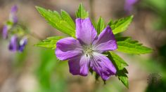 https://flic.kr/p/GqSjs3 | Wild Geranium, Great Smoky Mountains National Park, Tennessee | Geranium maculatum, the spotted geranium, wood geranium, or wild geranium is a woodland perennial plant native to eastern North America. It is a perennial that grows in dry to moist woods and is normally abundant when found. This one is in the Whiteoak Sink area of the Smokies. Enjoy more at Internet Brothers Hiking Logs and Gallery.