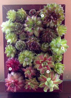 Succulent Frame made with Sempervivums