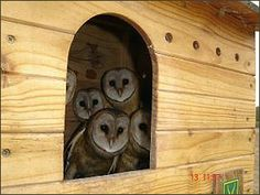 how to build your own owl house- this one for the Barn Owl