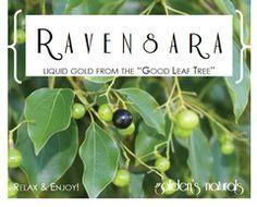 Top 10 Uses for Ravensara Essential Oil