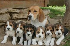 First Family of Beagledom!