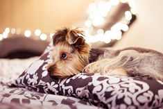 Yorkshire Terrier - Dog Breeds That Were Ranked The Best For Seniors - Page 10 of 41 - Lady Great 15 Dogs, Expensive Dogs, Beauty Tips For Glowing Skin, Picture Sharing, Yorkshire Terrier, Dog Friends, Yorkie, French Bulldog, Dog Cat