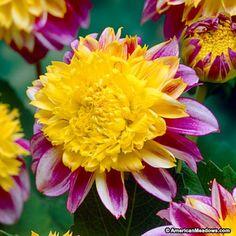 Pink and Yellow Anemone Flowering Dahlia Boogie Woogie, Dahlia, Anemone Flowering Dahlia