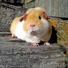 Amber - #Cobaya tricolor US Teddy (Teddy #guineapig) https://www.facebook.com/pages/Os-Amorodos-Cobayas-US-Teddy/621079757969900 (#Teddy #guineapig #guinea #pig #cavy #cavies #cobayas)