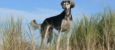 Flat Coated Retriever, Dogs, Animals, Animales, Animaux, Pet Dogs, Doggies, Animal, Animais