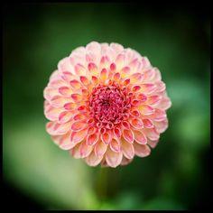 The perfect peach one. #pnw #macro_flowers #ig_flowers #flowerstalking #9vaga_flowersart9 #ig_mood #bestcaptureglobal #hot_macros #em_member #smallworld_uc #pocket_pretty #topfleur #fav_flowers_ #quintaflower #flowersandmacro #my_daily_flower #igscflowers #flipping_flowers #Macroandflora #macroclique #saylovetonature #tgif_macro #eye_for_earth #epix_flowerz #pocket_macro #flaming_flora #petal_perfection #lens_it2me