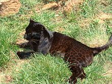 This is a female Panthera Onca, or Black Leopard.   Note her markings, she is a melanistic leopard.    Pic courtesy: Gary Whyte