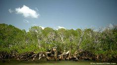 Indonesia memiliki hutan bakau terbesar di dunia yang diketahui bahwa manfaat hutan bakau adalah untuk pencegah abrasi atau pengikisan air laut.