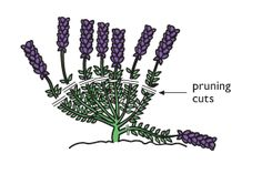 September is the time to trim lavenders after they've flowered. Use either secateurs or shears and never cut into the old wood #homesfornature