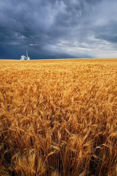 Almost Harvest ~ On a warm summer evening, storm clouds gather over a field of wheat in eastern Nebraska. via Artist, Derrald Farnsworth-Livingston   Love this!