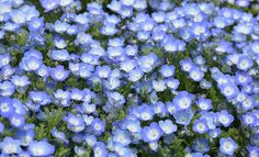 Schattengewächse Shadow plants, A sky-blue flower magic From May to September the pretty grove flower (Nemophila insignis) grows everywhere also in shady areas of the garden. Balcony Flowers, Balcony Plants, Patio Plants, Outdoor Plants, Garden Plants, Iris Garden, Shade Garden, Summer Flowers, Blue Flowers