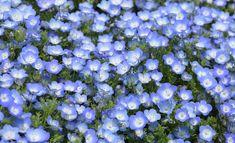 Schattenpflanzen,Ein himmelblauer Blütenzauber Von Mai bis September wächst die hübsche Hainblume (Nemophila insignis) flächendeckend auch in schattigen Gebieten des Gartens. Foto: Fotolia