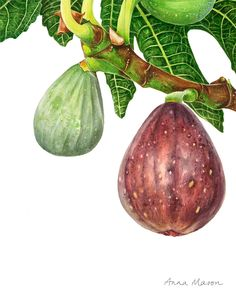 I love figs. In fact Phil once climbed to the top of a tree to harvest some for me (he'd had a few beers but fortunately he survived!). 🌳❤️ Watercolor Fruit, Watercolour Painting, Watercolor Flowers, Watercolors, Botanical Flowers, Botanical Art, Anna Mason, Watercolor Projects, Botanical Drawings