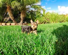 Mini teacup Yorkie puppies are the best decision if you want to adopt a four-legged companion. Puppy Avenue has Yorkshire Terrier puppies in California and Southern California.