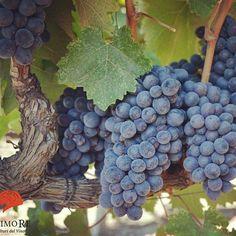 """""""Quando il Negroamaro sa coniugare insieme potenza e bevibilità, timbro del territorio di appartenenza ed eleganza, è in grado di stupire come pochi altri vitigni in Italia"""". 🍇🍇💞 Luca Gardini, Miglior Sommelier al Mondo 2010 🍷 ---------------------------------------------------------- #wine #vino #winelover #negroamaro #puglia #salento #vineyard"""