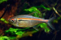 Hyphessobrycon amapaensis Tetra Fish, Neon Tetra, Tropical Freshwater Fish, Freshwater Aquarium Fish, Tropical Aquarium, Tropical Fish, African Cichlids, Beautiful Fish, Colorful Fish