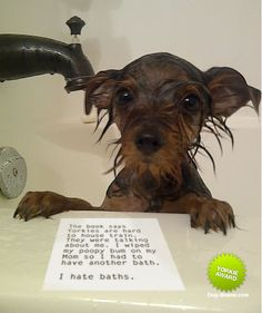 the book says yorkies are hard to house train.  they were talking about me...