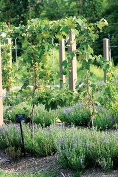 Edible Landscaping: Hyssop blooms beneath Niagara grapes.