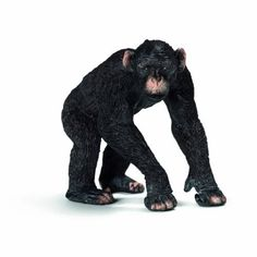 Male Chimpanzee (AFRICA)