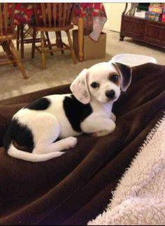 Cheagle. OMG want one. So cute!