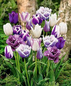 tulpaner rabatt 10 Purple mixed blend of color/varieties Tulip Bulbs **FALL PLANTING Bulb Flowers, Tulips Flowers, Daffodils, Pretty Flowers, Spring Flowers, Growing Flowers, Planting Flowers, Orquideas Cymbidium, Tulip Bulbs