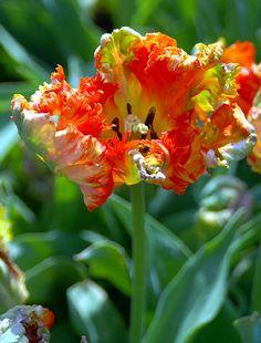 WARBLER Tulips