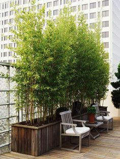 Bamboo  Although it's a fast-spreading   menace when grown in the ground, bamboo is a dramatic specimen plant when grown   in a large container (where it can't escape). It makes a perfect, fast-growing   screen.  Name: Phyllostachys aurea  Size: To 20 feet or more  Growing   Conditions: Full sun and moist, but well-drained soil