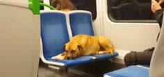 My Baya girl would never be stolen.  She would do this!!  Four-Legged Train Passenger Leaves Forever Home and Returns to Foster Family