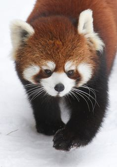 Red Panda in the snow by Mark Dumont