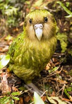 This chubby little bird from New Zealand is called the Kakapo-the world's only flightless parrot.