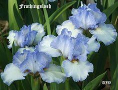 Iris 'Frothingslosh'