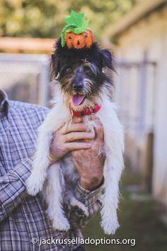 Adoptable Terrier Mix, Nubbin | Georgia Jack Russell Rescue, Adoption & Sanctuary