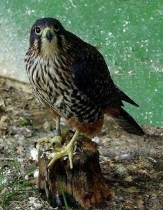 New Zealand Falcon.