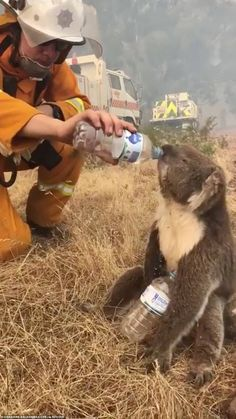 This desperate koala can be seen hastily drinking water in a bid to cool down amid the soaring heat in Australia. The marsupial approached a group of cyclists who were. Animals And Pets, Baby Animals, Cute Animals, Smiling Animals, Baby Giraffes, Wild Animals, Wild Life, Christmas In Australia, Australian Bush