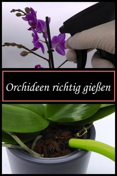 Orchideen richtig gießen With these tips, your orchids will cease to bloom and bloom magnificently! Orchideen richtig gießen With these tips, your orchids will cease to bloom and bloom magnificently! Garden Trellis, Garden Pots, Vegetable Garden, Garden Care, Hair Rainbow, Orchids In Water, Orchid Plants, Sylvester Stallone, Orchid Care