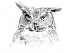 owl sketch | Great Horned Owl Study 1 - by Sharon K. Schafer