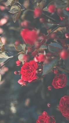 A Dozen Red Roses iPhone Wallpapers for Valentine's Day - Wallpaper World - iPhone - Android Wallpapers Rose Images, Rose Pictures, Romantic Roses, Beautiful Roses, Flower Wallpaper, Wallpaper Backgrounds, Iphone Wallpapers, Phone Backgrounds, Dozen Red Roses