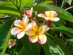 How To Grow Plumeria, Growing Plumeria in containers, Frangipani care and more about this plant. A well-draining soil, slightly acidic is best for plumeria. Best Flowers For Bees, List Of Flowers, Amazing Flowers, Beautiful Flowers, Beautiful Pictures, Tropical Plants, Tropical Flowers, Hibiscus Flowers, Hawaiian Plants