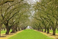 Almond Orchard.  One home I lived in was surrounded by these beautiful orchards.  Across the street were rolling hills.