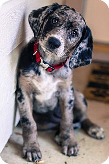 Bluetick Coonhound/Labrador Retriever Mix. Looks like my catahoula