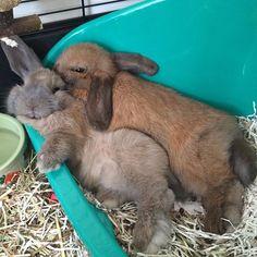 #tbt when A & B were a baby twix bar! #bunny #bunnies #rabbit #rabbits #pet #pets #petstagram #petsofinstagram #animal #animals #animalsofinstagram #instagram #instagood #instapet #instaanimal #bunnylove #baby #london #minilop #thursday #snuggle #snuggles