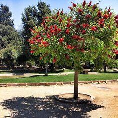 Such a beautiful tree 🌺🌺🌺🌺🌺🌸🌸🌸🌸🌳 #erasmuslife #erasmus #spain #espana #monday #walk #tree #summer