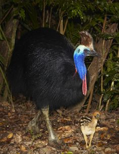 Southern Cassowary with chick (Casuarius casuarius)  is distributed in tropical rainforests of Indonesia, New Guinea and northeastern Australia where it forages on the forest floor for fallen fruit.  It is capable of safely digesting some fruits toxic to other animals and is solely responsible for dispersing many rainforest plants. Due to ongoing habitat loss, limited range and overhunting in some areas, the Southern Cassowary is evaluated as Vulnerable on the IUCN list of Threatened…