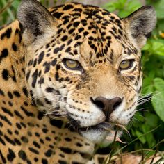 Protect the Jaguars of Sky Island at The Rainforest Site