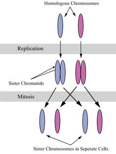 GENETICS TERMINOLOGY - CHROMOSOMES VS. SISTER CHROMATIDS: When is DNA considered a chromosome? What is a sister chromatid and how does it differ from a chromosome? This article unravels some of the lingo of DNA.