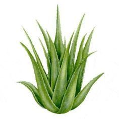 Read the benefits of Aloe Vera. Buy Aloe Vera Gel, Creams, Lotions and Products. Home Remedies For Hives, Hives Remedies, Herbal Remedies, Asthma Remedies, Health Remedies, Aloe Vera Liquid, Aloe Vera Creme, Natural Treatments, Natural Cures