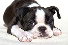 Yaklaşık 15 yıl yaşayabilen Boston terrierler, İngiliz terrier ve İngiliz buldog melezinin Fransız buldog ile çiftleştirilmesi sonucu oluştu. 1893'te Amerikan Kennel Club tarafından kabul gördü. Bu yıllardan sonra Boston'da sergilenmeye başlandı. Savaşçı bir köpek olduğu için geçmişte döğüş köpeği olarak kullanılırken günümüzde ev ya da aile köpeği olarak kullanılmaktadır.
