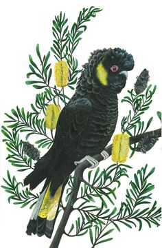 Helen Barnard - Yellow-tailed Black Cockatoo
